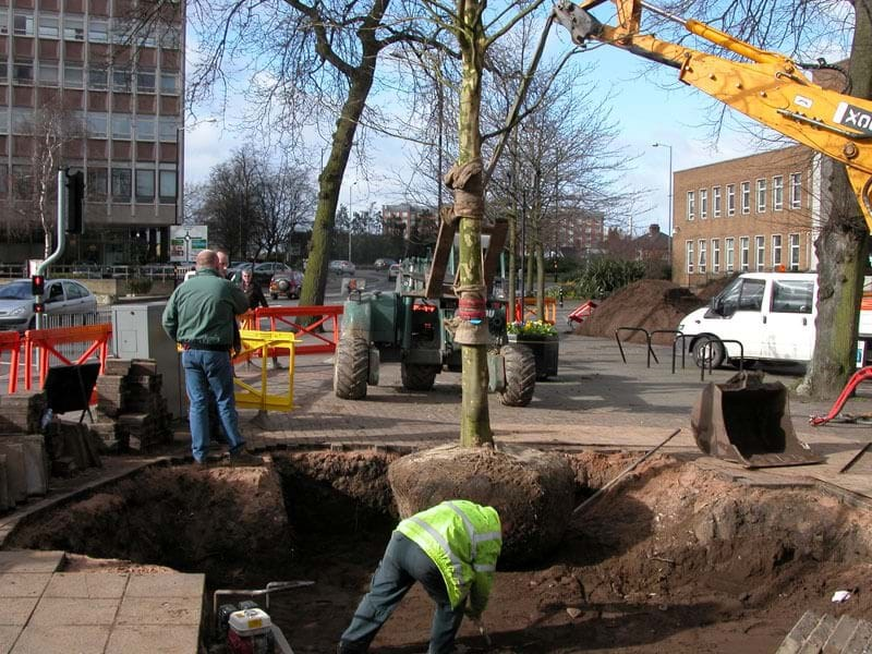 Planting a large London Plane for a Local Authority
