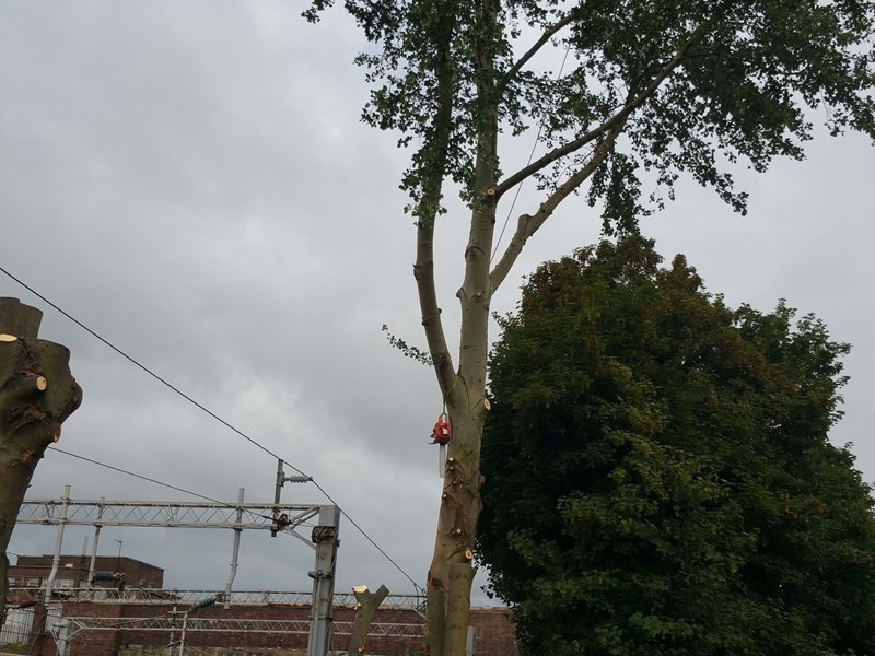 Section felling large Sycamore > 9ft from ATF on West Coast Mainline