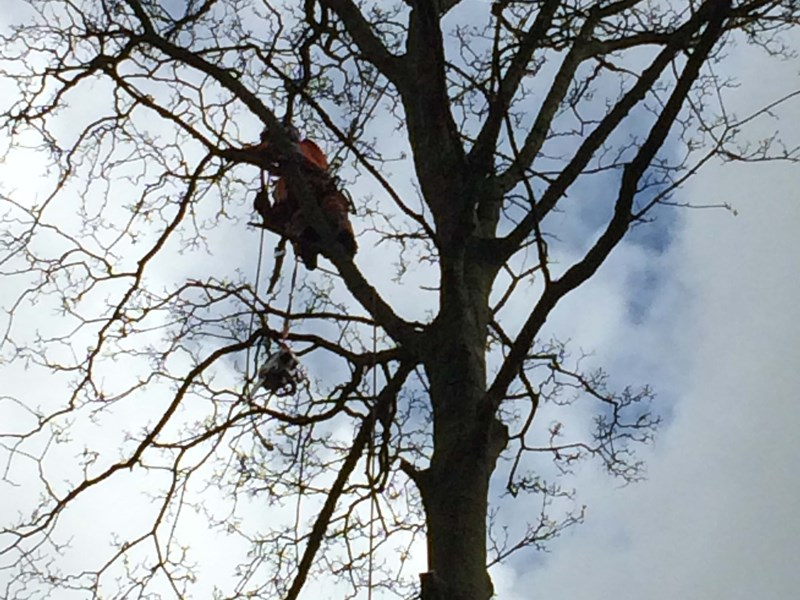 Section felling a semi mature Sycamore for a domestic client